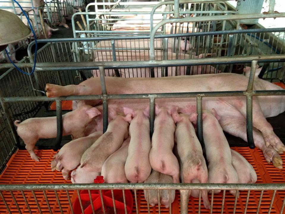 Thiết bị chăn nuôi heo