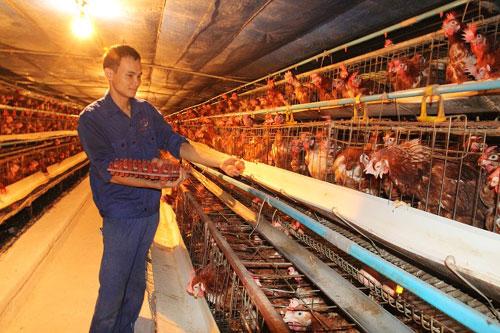 Kỹ thuật nuôi gà đẻ trứng